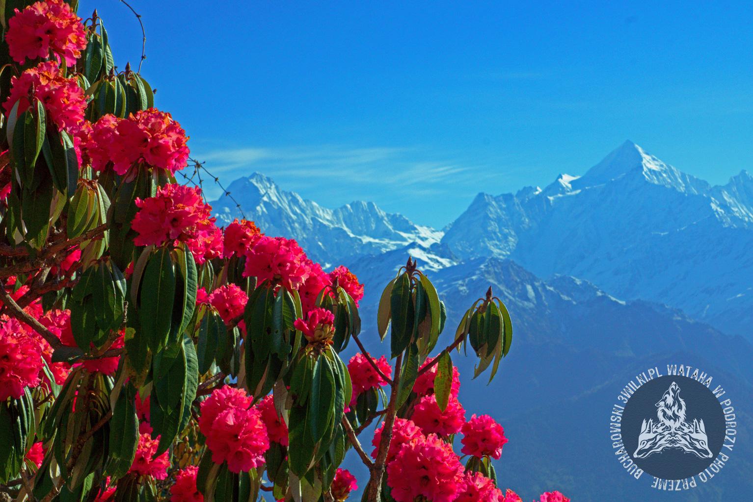 himalaje_rododendrony