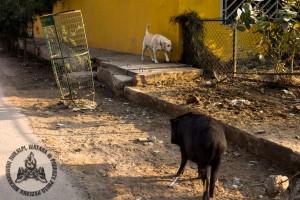Psy i świnie to częsty widok w Gurgaon