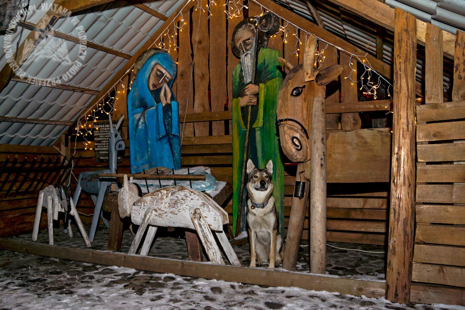 Szopka bożonarodzeniowa z żywym wilkiem :)
